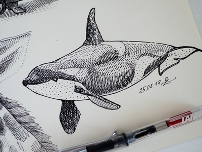 Orca (killer whale) illustration gravure linocut woodcut hatching crosshatching infographic ink drawing sketchbook sketching lamy fountain pen killer whale orca