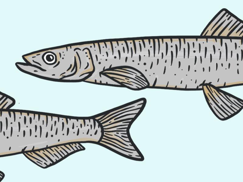 Capelin Fish blue under the sea illustration capelin fish