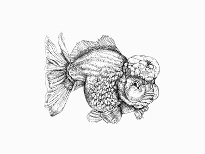 Lionhead goldfish ink illustration artwork illustraion drawing art