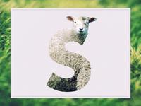 S /// Sheep