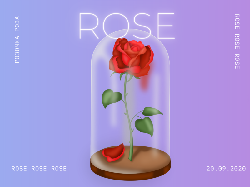 Rose flower roses rose