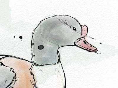 Shelduck photoshop illustration