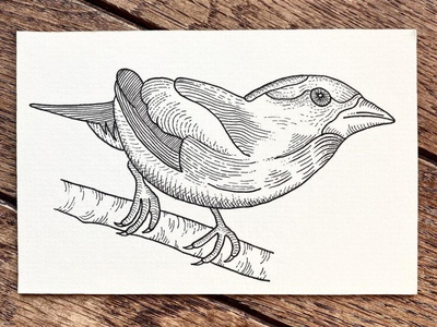 Evening Grosbeak indianaart pen indianaartist bird wildlife illustration sketch drawing ink
