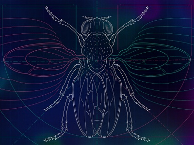 Fruit Fly Organ Size line lineart vector engineering drawing dimension lines symmetry engineering blueprint insect wings fruit fly fly scientific illustration science technical illustration illustration