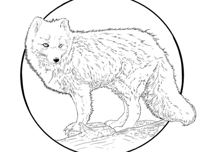 Artic Fox black and white illustraion