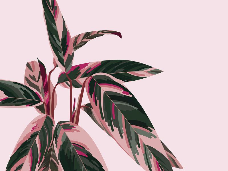 Triostar Stromanthe