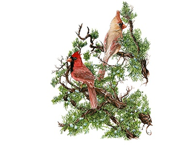 Cardinals science nature tree berries juniper botanical bird illustration watercolor