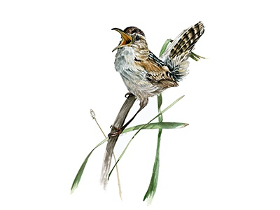 Marsh Wren audubon watercolor painting nature scientific bird wren marsh