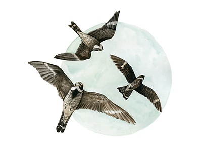 Nighthawks painting nature moon wildlife birds illustration watercolor
