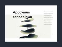 Apocynum Cannabinum plant