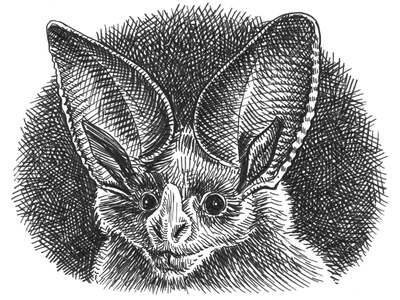 Bat sketch illustration crosshatching vampire ink art hand drawn pen and ink sketch drawing