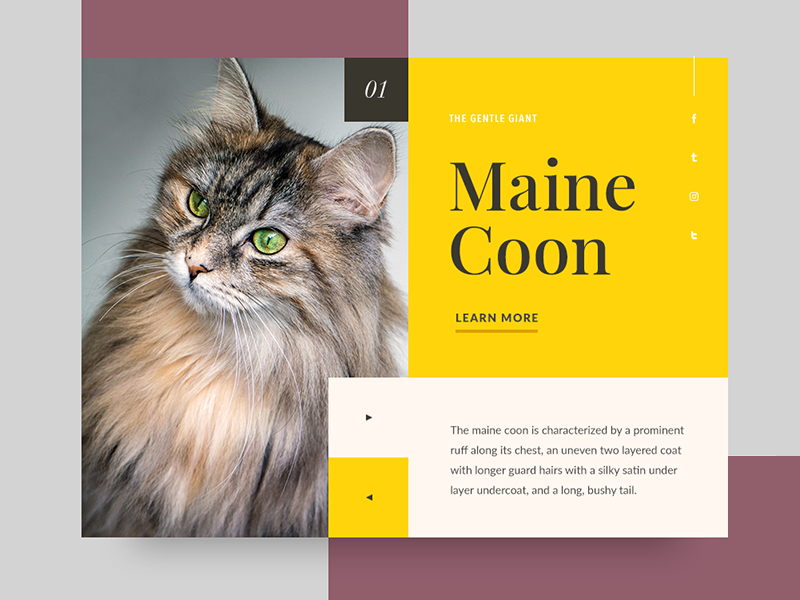 Cat 1 - Maine Coon maine coon ui card minimalism cat