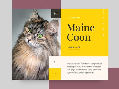 Cat 1 - Maine Coon maine coon ui card minimalism cat