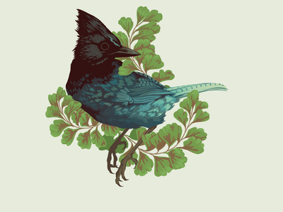 Steller's Jay Sticker sticker nature design editorial art illustration art graphical