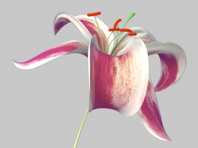 Lily lily flower c4d