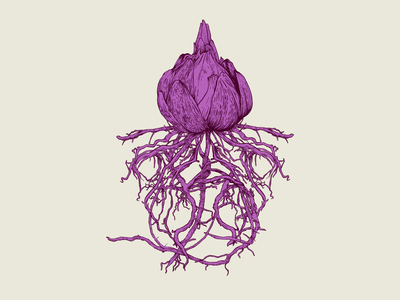 Lily Bulb linework etching detailed purple flower lily bulb roots botanical drawing illustration