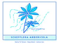 Schefflera Arboricola: Dwarf Umbrella Tree Illustration