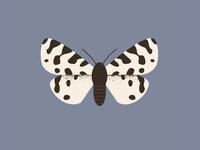 Moth (ocnogyna zoraida)