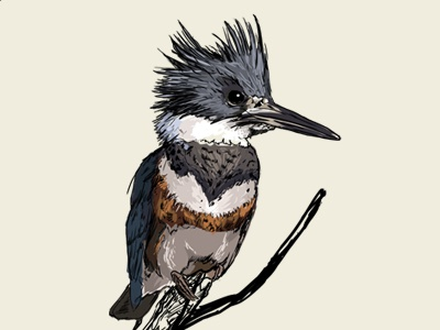 Belted Kingfisher 2 / fauna poster illustration poster