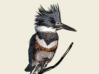 Belted Kingfisher 2 / fauna poster