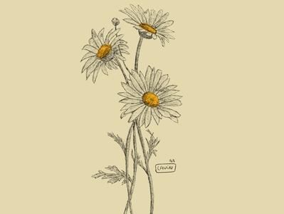 - Chamomile pencil ipadpro illustrator illustration design