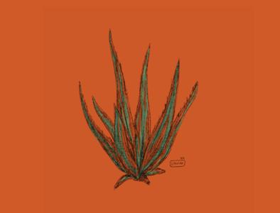 - Aloevera color pencil ipadpro illustrator illustration design