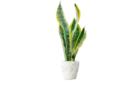 sansevieria plant drawing