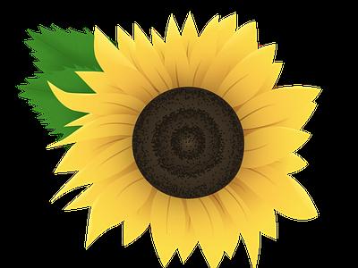 Sunflower bloom summer sunflower flower vector design illustration