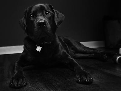 hudson bw black and white photography mans best friend pet lab labrador puppy dog hudson