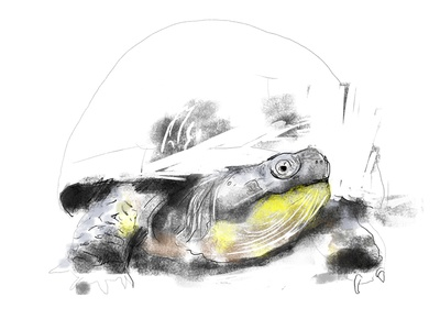 Turtle Sketch turtle blanding photoshop brushes sketch