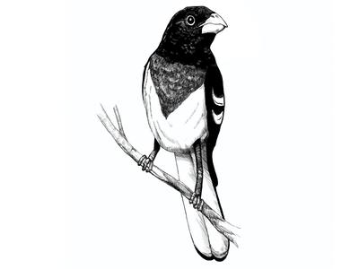 Bird Illustration v2