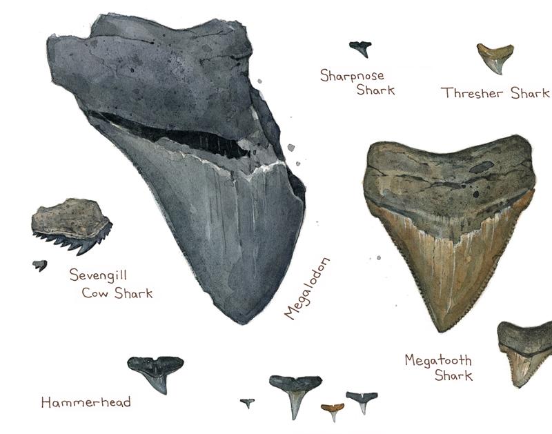 Dribbble Shark Teeth Illustration02jpg By David Scheirer