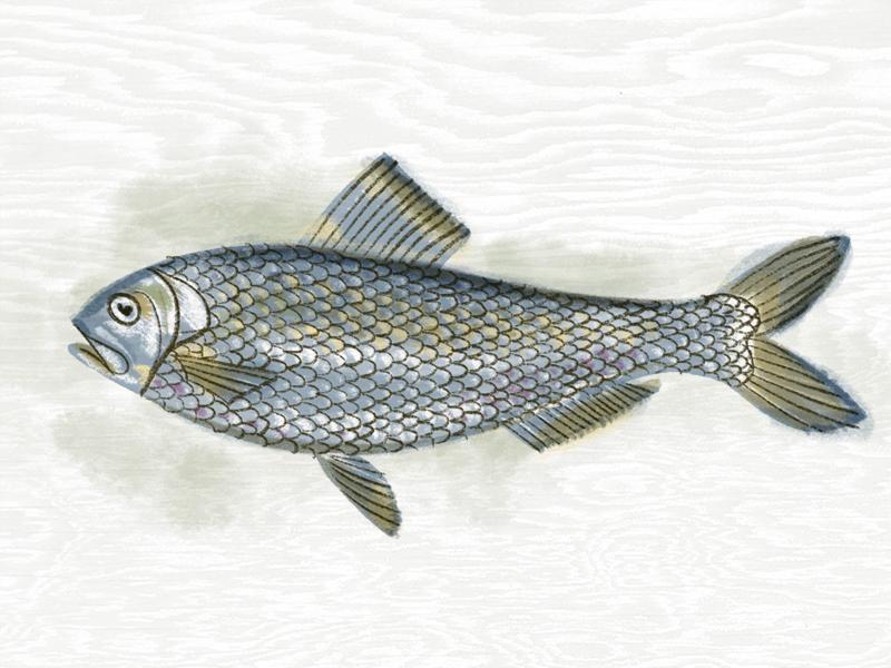 Fish illustration kendrickkidd 1