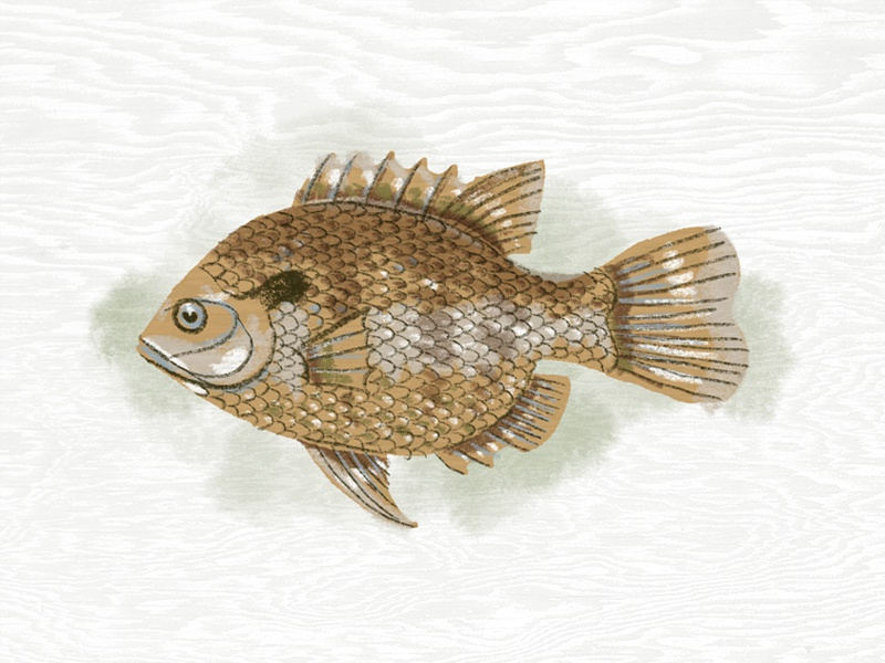 Illustration II procreate fish illustration