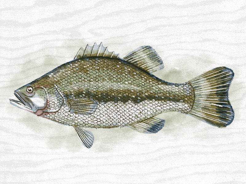 Fish illustration kendrickkidd series2 bass