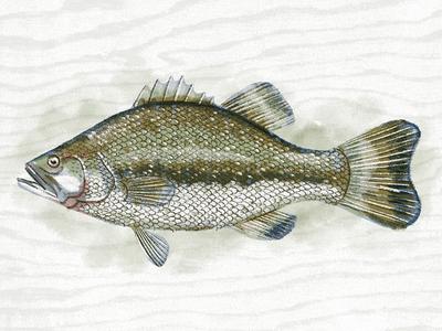 Illustration V bass procreate fish illustration