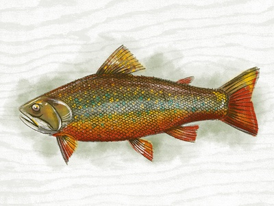 Illustration VII brook trout procreate fish illustration