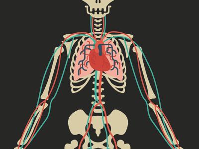 Circulatory System WIP illustration biology anatomy heart blood circulatory system skeleton bones