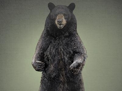 A Bear 1 (Layered PSD) Illustration black bear bear layered psd