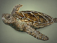 A Seaturtle 2  (Layered PSD) Illustration