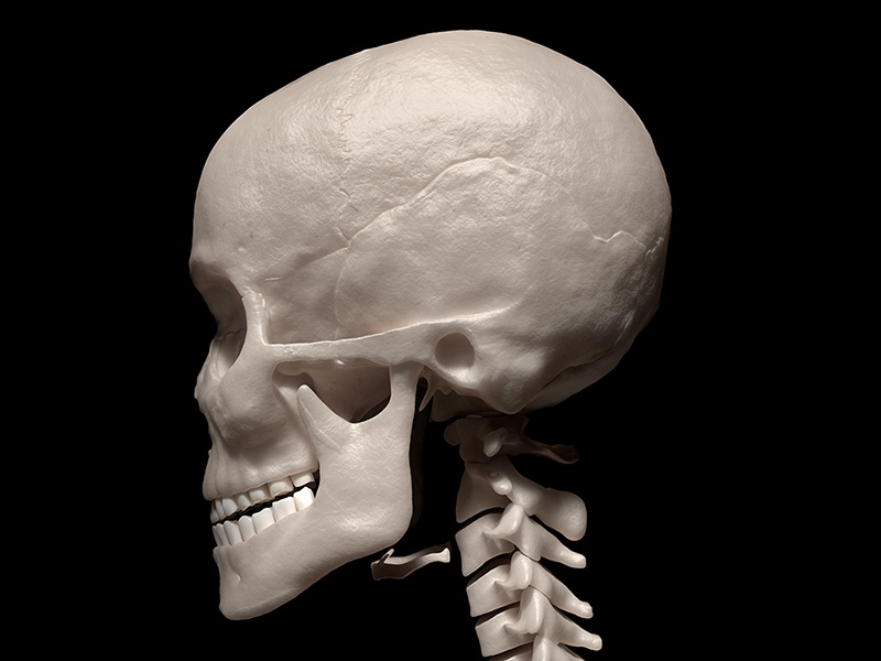 human skull and neck by david marchal - dribbble, Skeleton