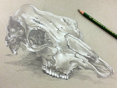 Cowskull pencil conte toned paper