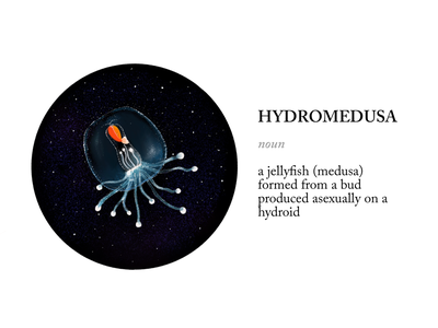 Jelly hydromedusa drawing illustration procreate jellyfish