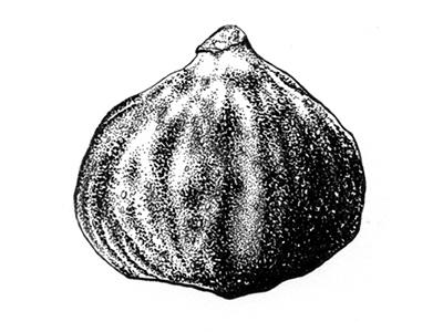 Fig drawing ink fruit fig botanical illustration illustration