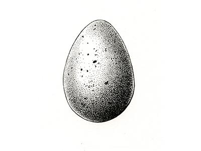 Egg scientificillustration egg art drawing ink illustration botanicalillustration