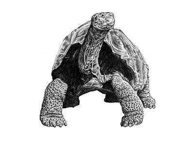 Galapagos Illustration - Tortoise art animals graphite drawing scientific illustration illustration galapagos