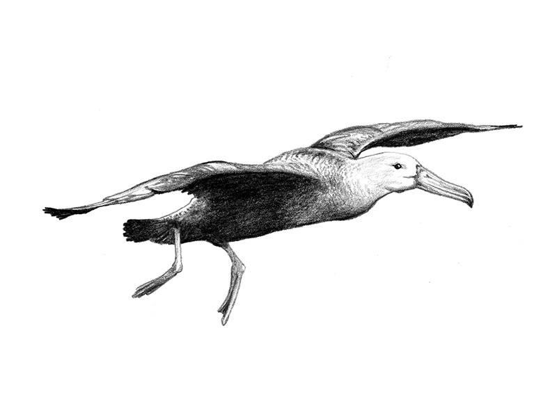 Galapagos Illustration - Albatross scientific illustration birds art graphite drawing illustration albatross galapagos