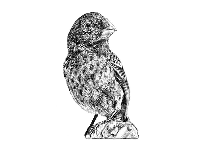Galapagos Illustration - Finch scientific illustration art graphite drawing illustration birds finch galapagos