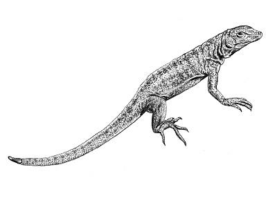Galapagos Illustration - Lava Lizard graphite scientific illustration illustration art drawing lizard lava lizard galapagos