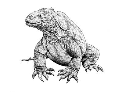 Galapagos Illustration - Land Iguana land iguana scientific illustration graphite reptiles illustration art drawing iguana galapagos